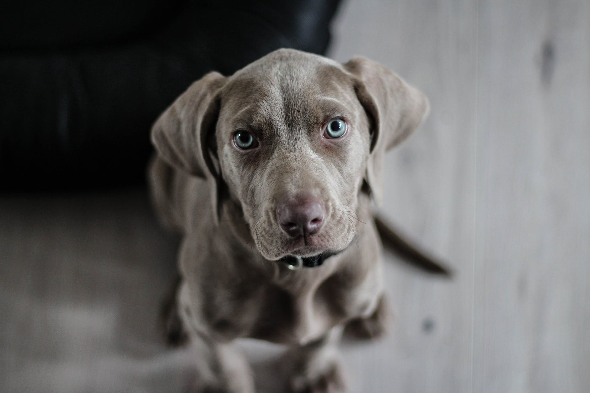 weimaraner-puppy-dog-snout-97082.jpeg